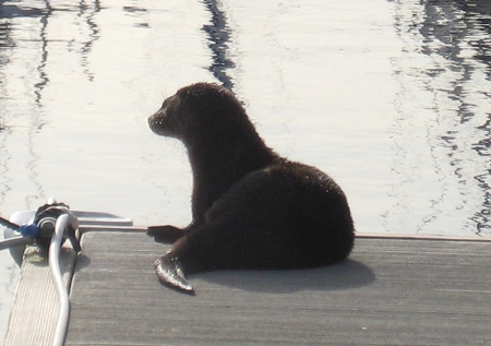 Sea Otter on the dock